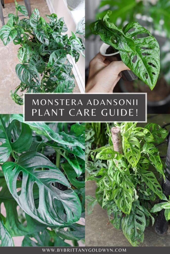 monstera adansonii care