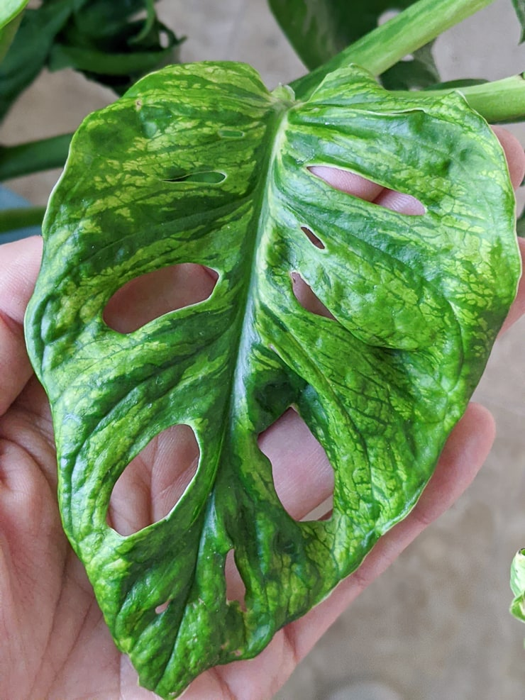 suspected mosaic virus on a monstera adansonii