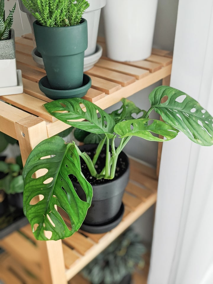 propagation of a swiss cheese monstera