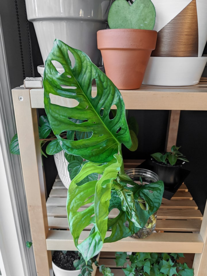 beautiful monstera adansonii propagation