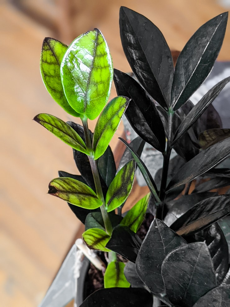 bright green new growth on a raven ZZ plant beginning to change and darken