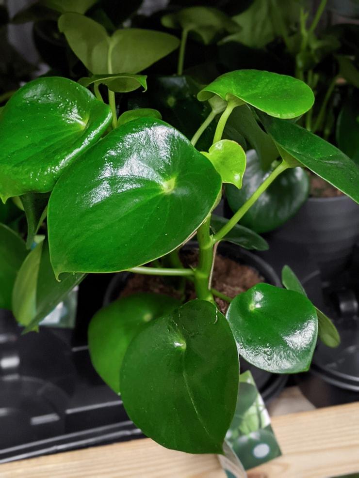 peperomia raindrop plant leaves