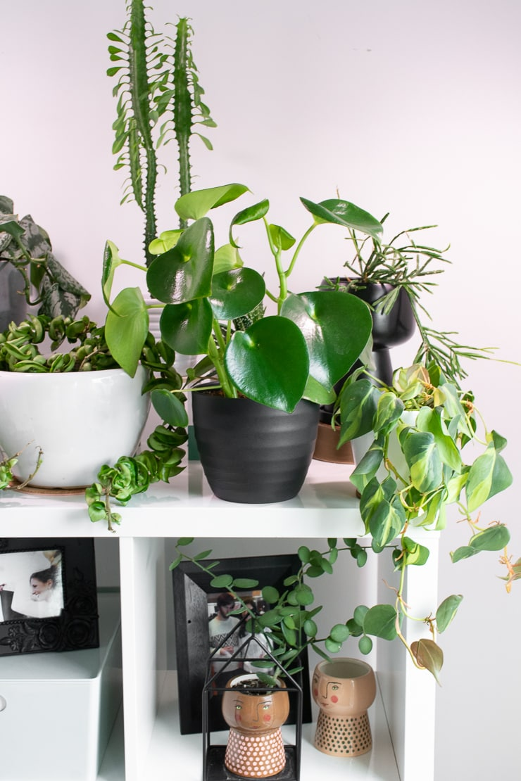 peperomia raindrop plant on a shelf with other plants