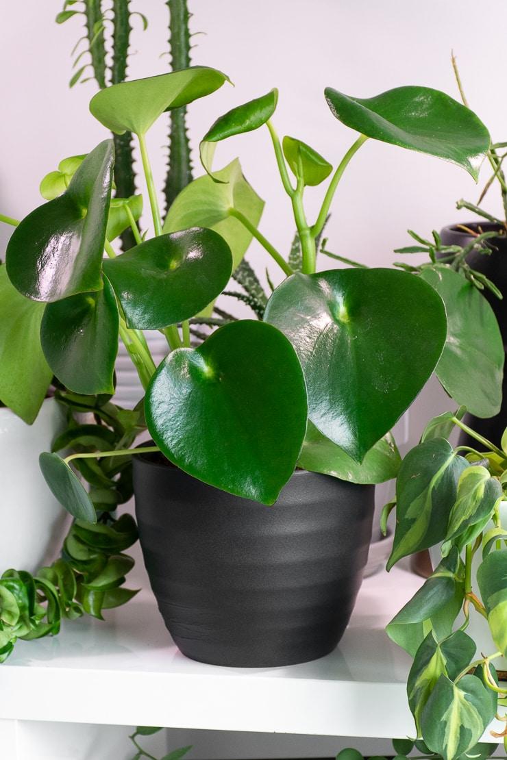 peperomia raindrop plant