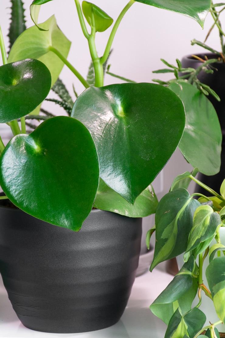 peperomia raindrop leaves