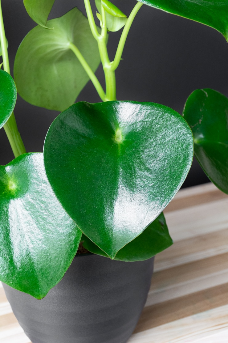 peperomia polybotrya leaf