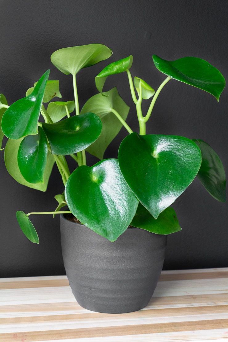 peperomia raindrop plant on a table