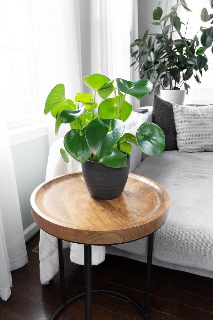 peperomia polybotrya plant on a table