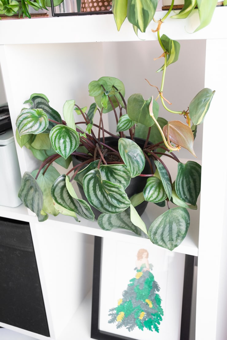 large flopping watermelon peperomia