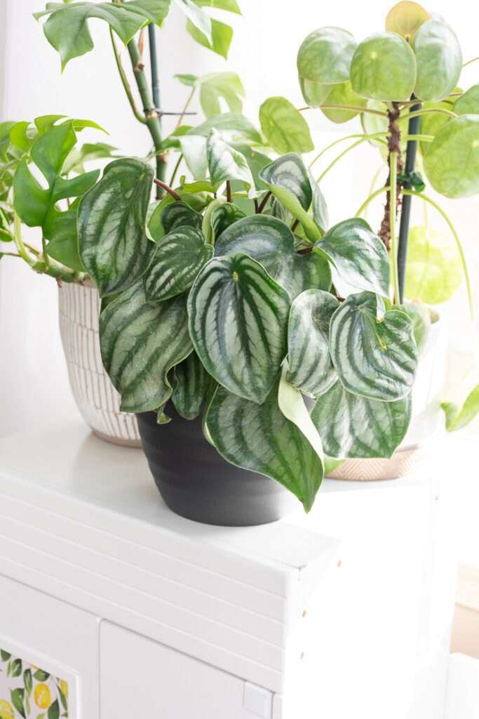 watermelon peperomia plant on a shelf with other plants
