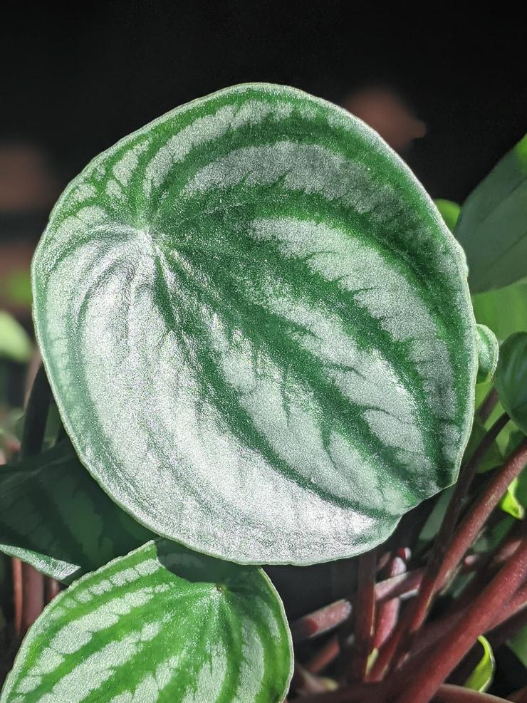 closeup of a watermelon peperomia leaf
