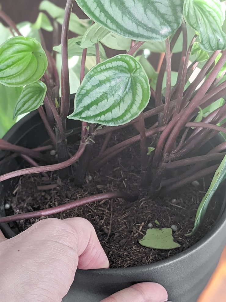 stems on a watermelon peperomia