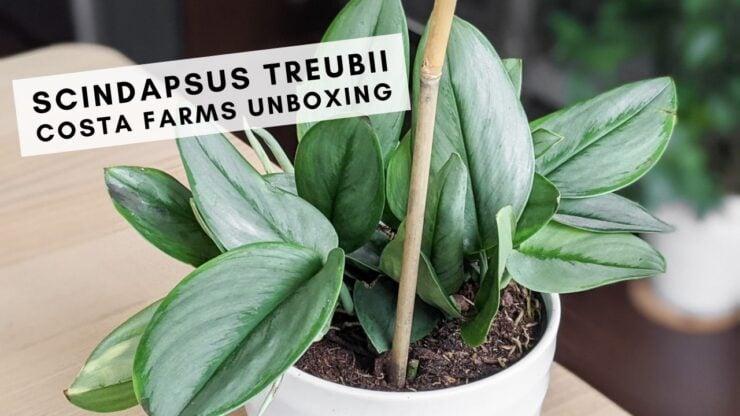 scindapsus treubii plant