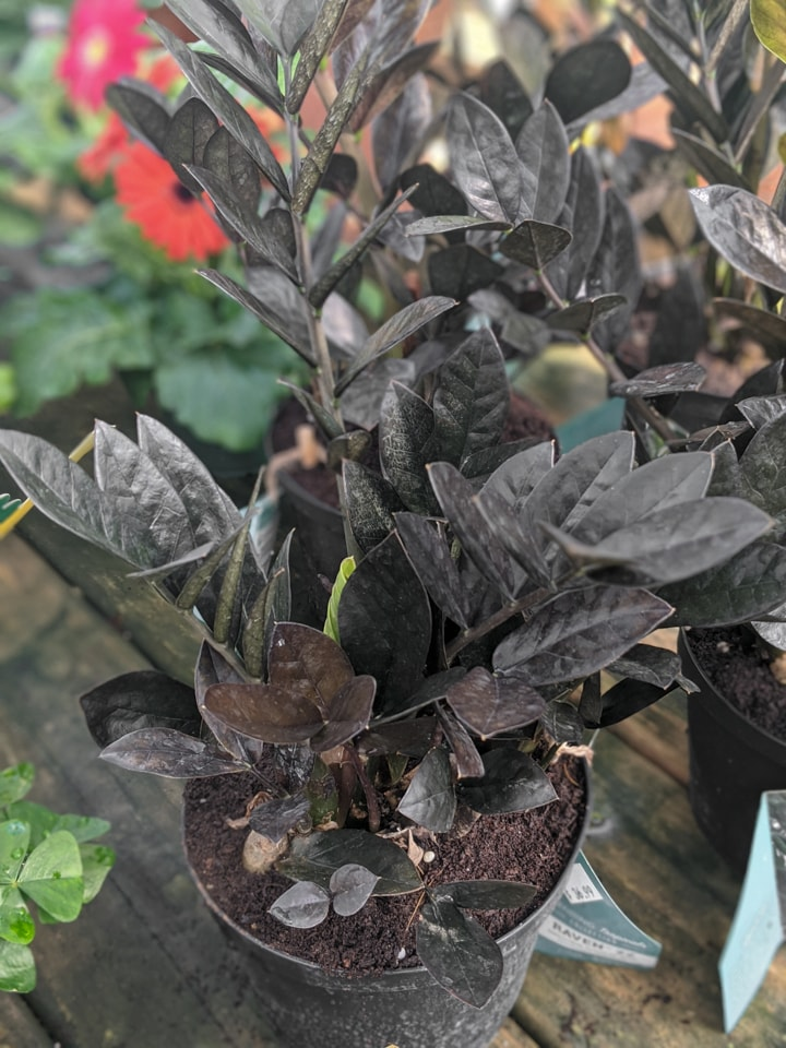 raven ZZ plant with lime green new growth