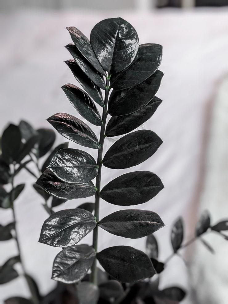beautiful raven zz plant foliage