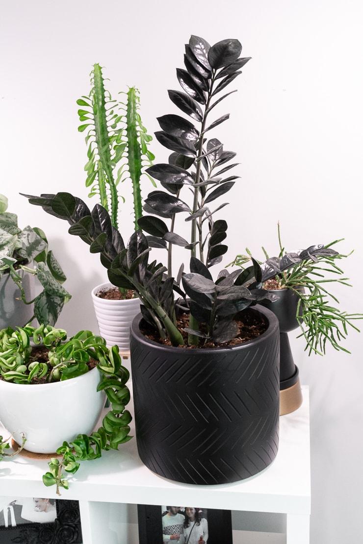 beautiful raven zz plant