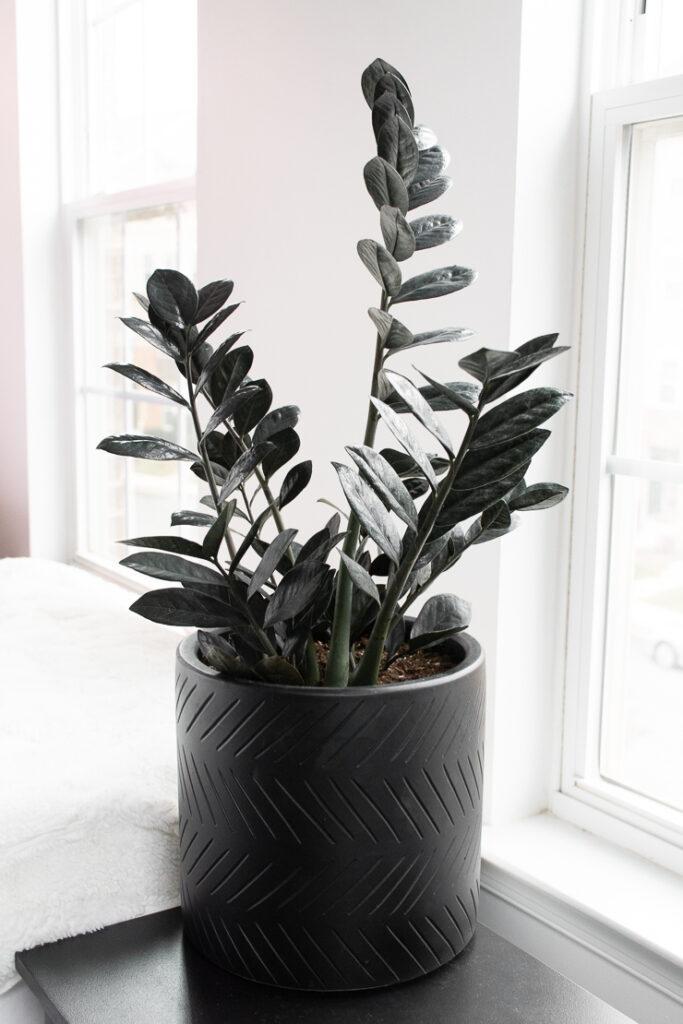 raven ZZ plant care