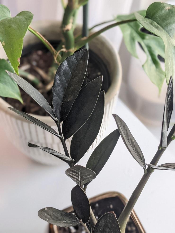 Closeup of black raven ZZ leaves