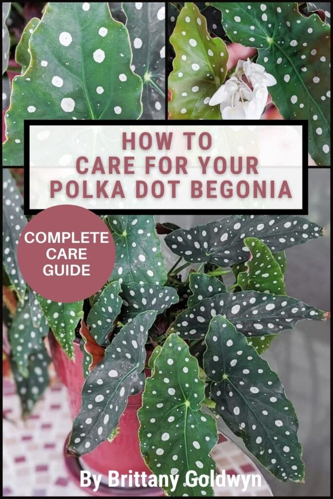 begonia maculata care image collage with text overlay