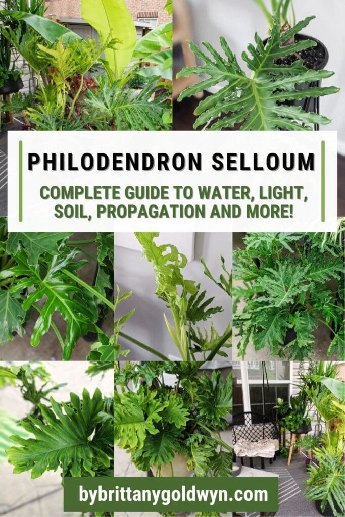 image collage of philodendron selloum care with text overlay