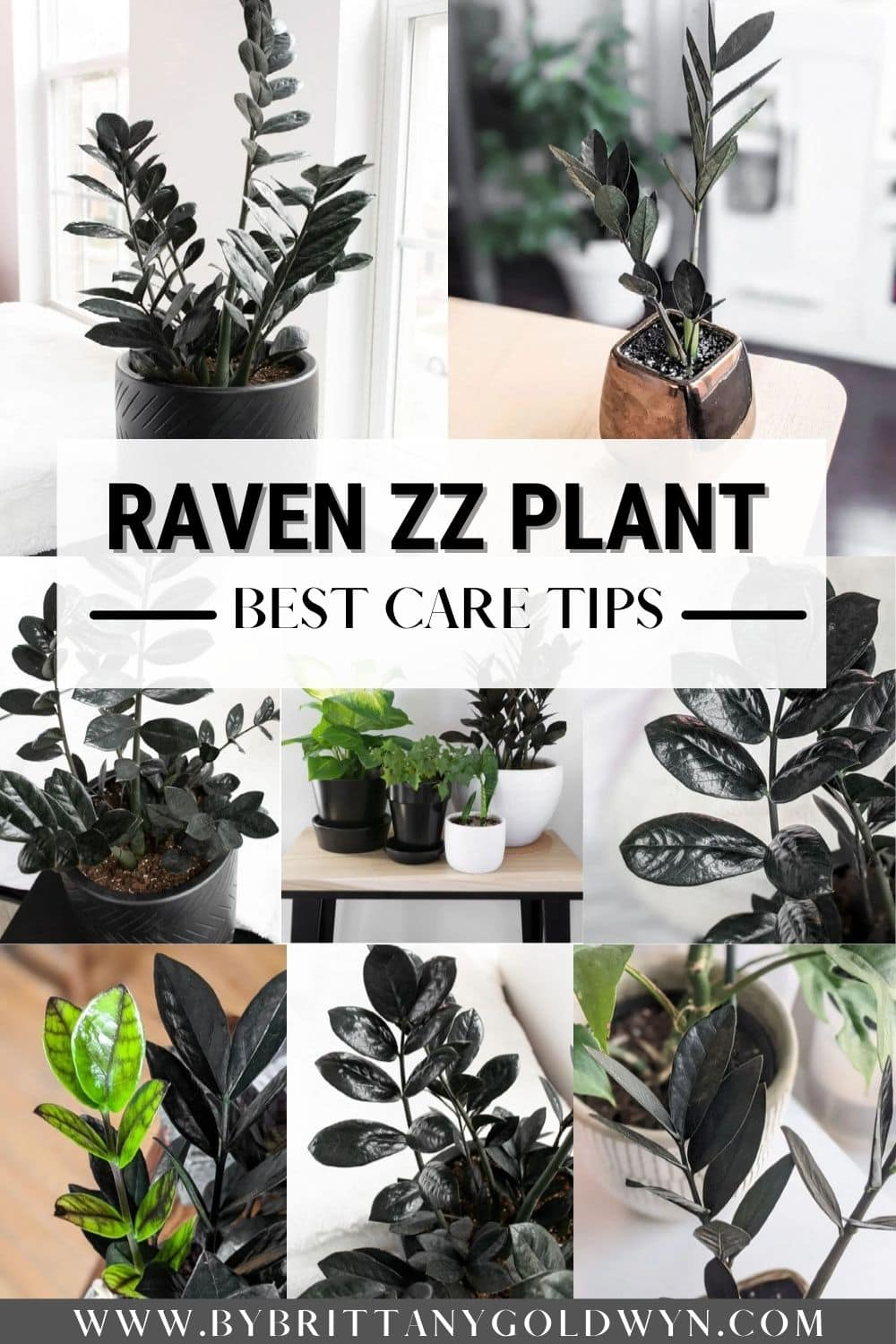 Image collage of raven zz plants with text overlay