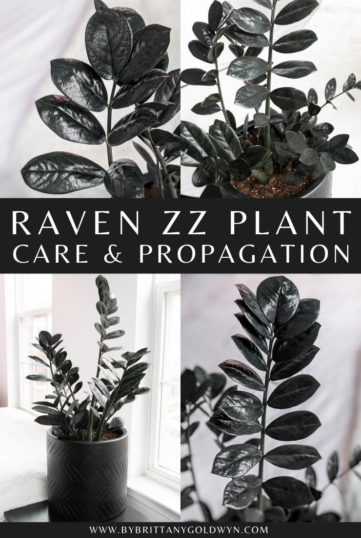 Pin my raven ZZ plant care and propagation tips pinnable graphic with text overlay