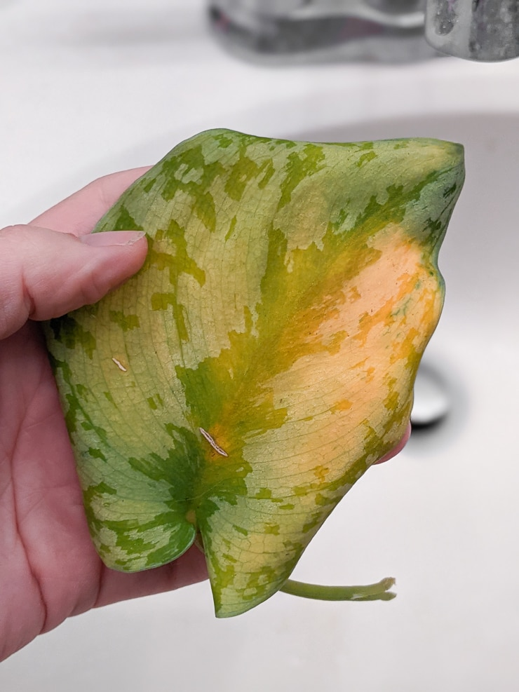 Scindapsus pictus care and yellowing leaves