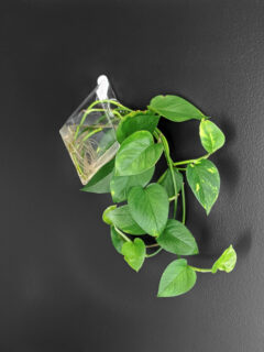 beautiful pothos plant hanging against a black wall