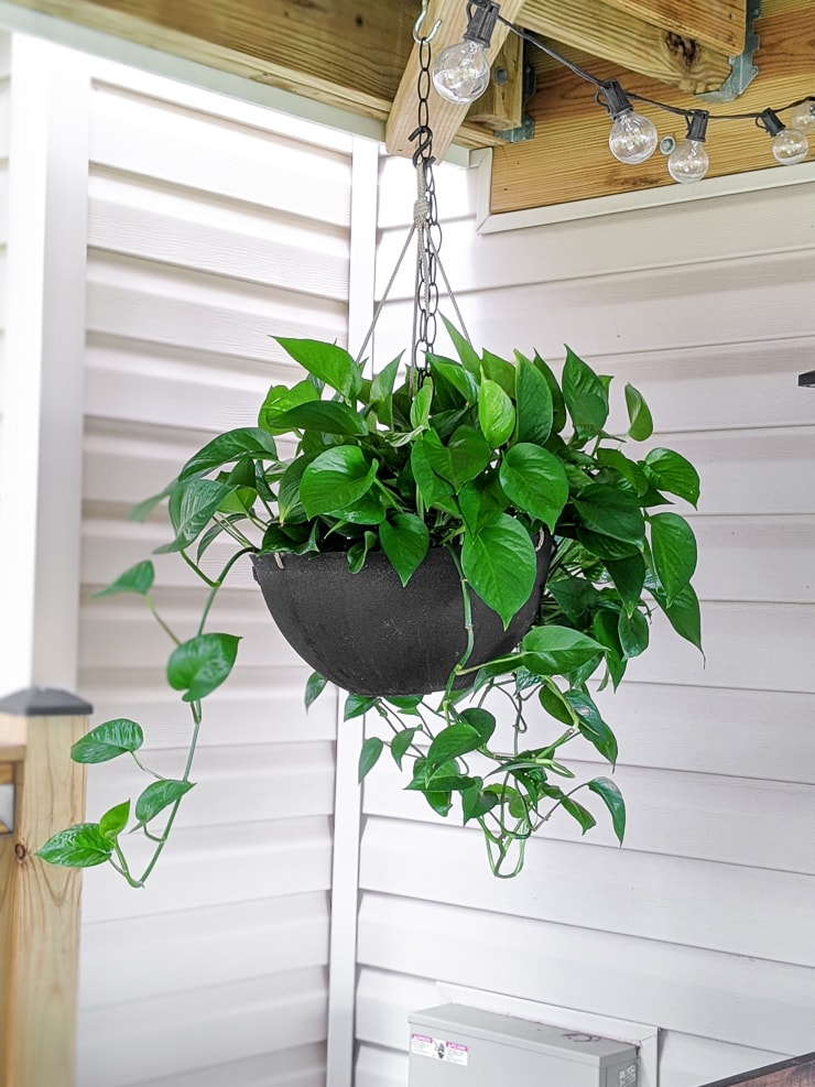 big bushy pothos plant