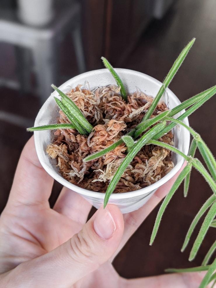 rooting hoya linearis in moss