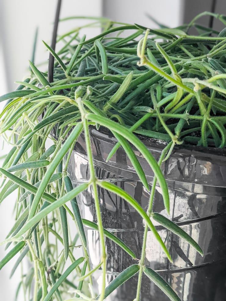 gorgeous hanging hoya linearis plant