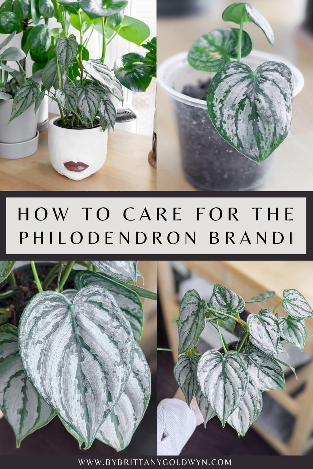 Philodendron Brandtianum care pinnable graphic with text overlay