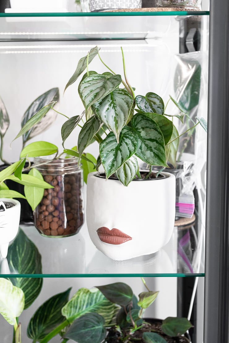 philodendron brandi plant in an ikea greenhouse cabinet
