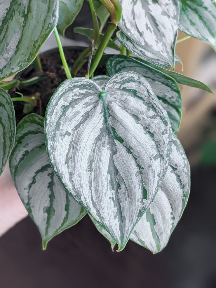 gorgeous silver leaf philodendron leaves