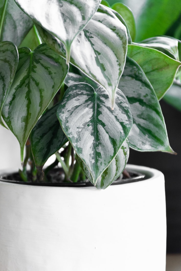 silver leaf philodendron leaves