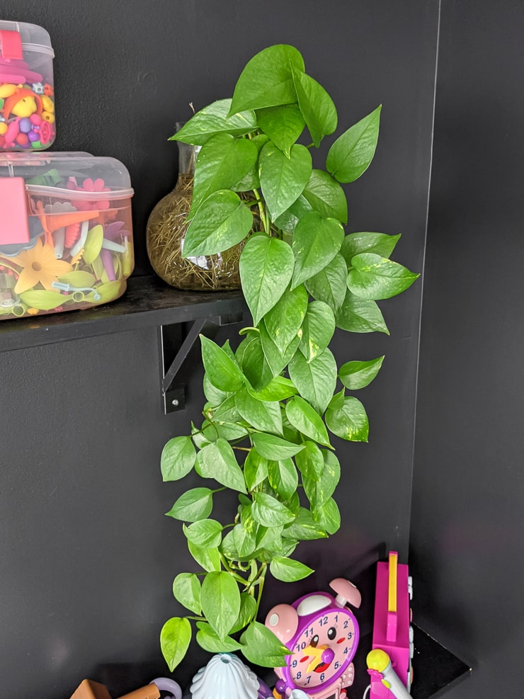 beautiful pothos plant growing in water