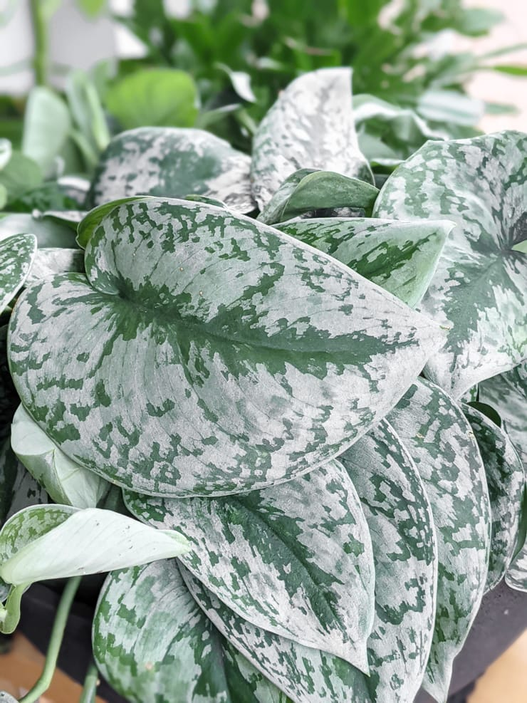 scindapsus pictus exotica leaves