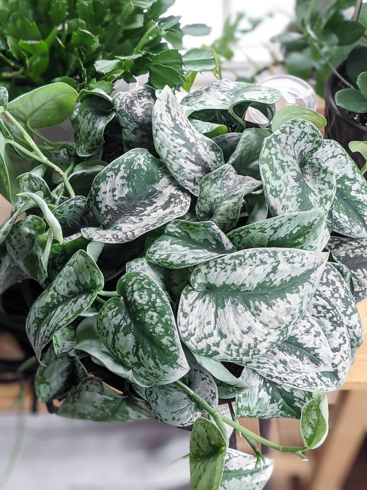beautiful scindapsus pictus exotica plant