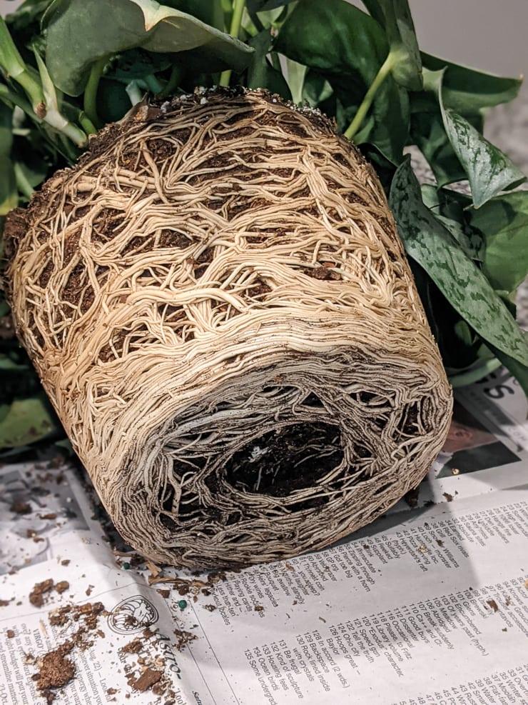 very rootbound scindapsus pictus exotica plant