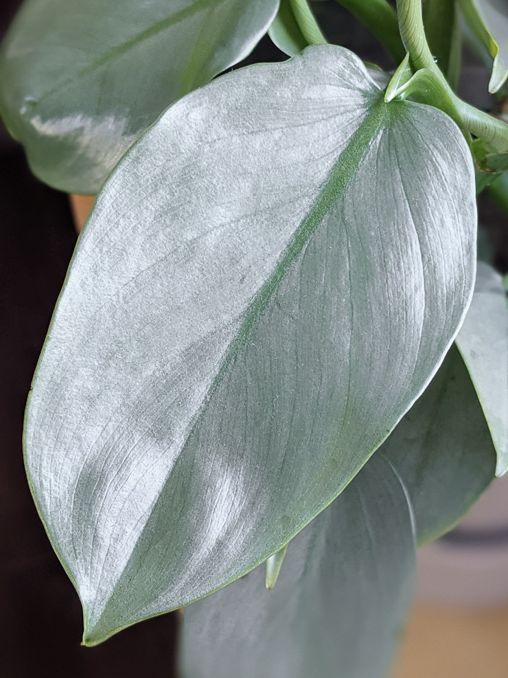 Beautiful Silver Sword Philodendron leaf