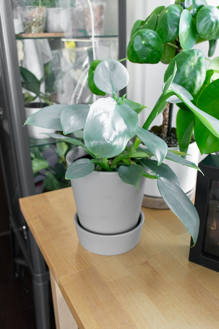 Beautiful Silver Sword Philodendron plant