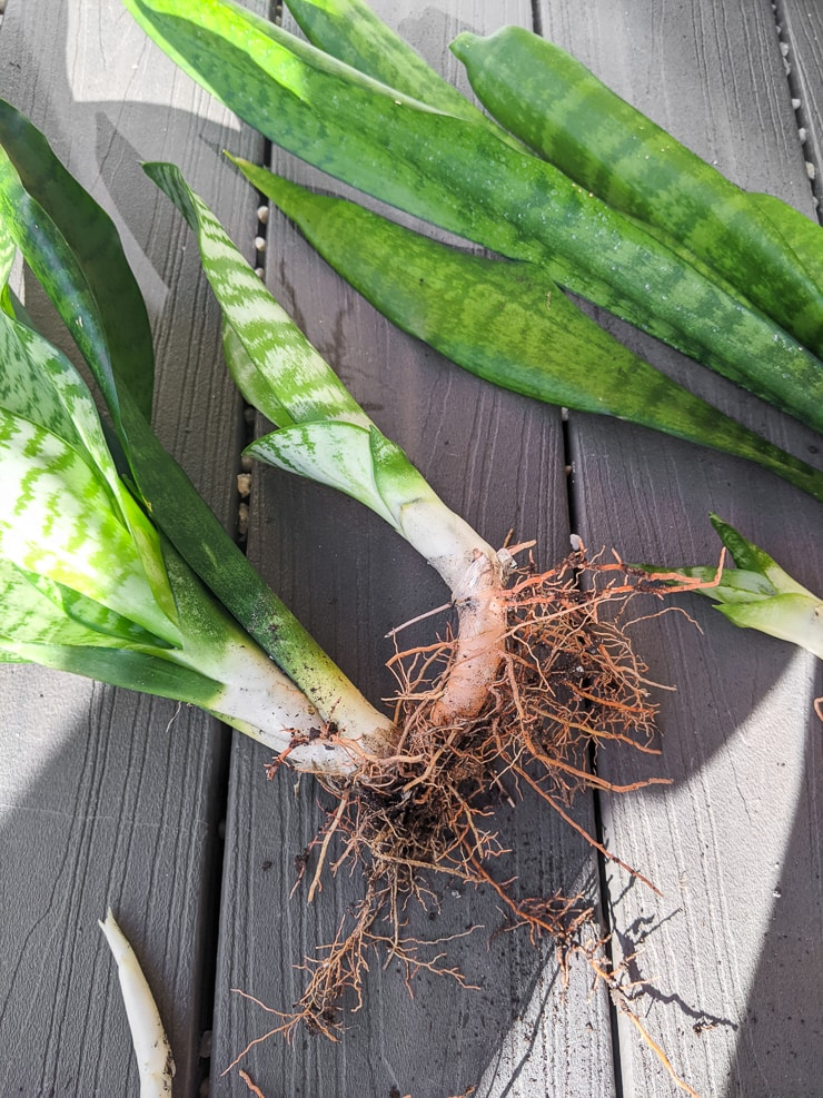 How to propagate snake plants by division