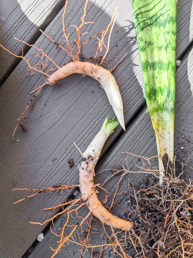 snake plant rhizomes with little roots sprouting from them