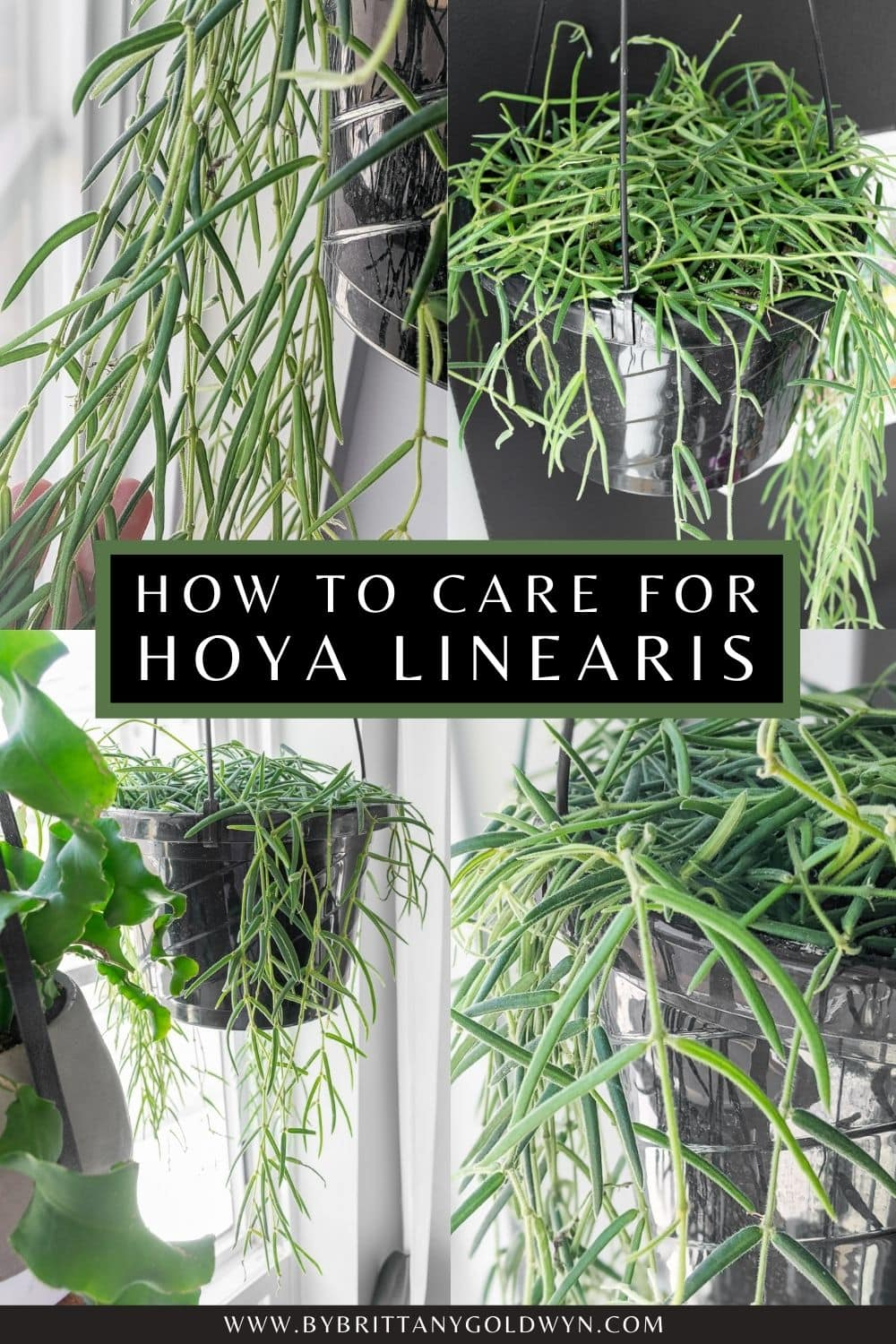 hoya linearis care pinnable image with text overlay