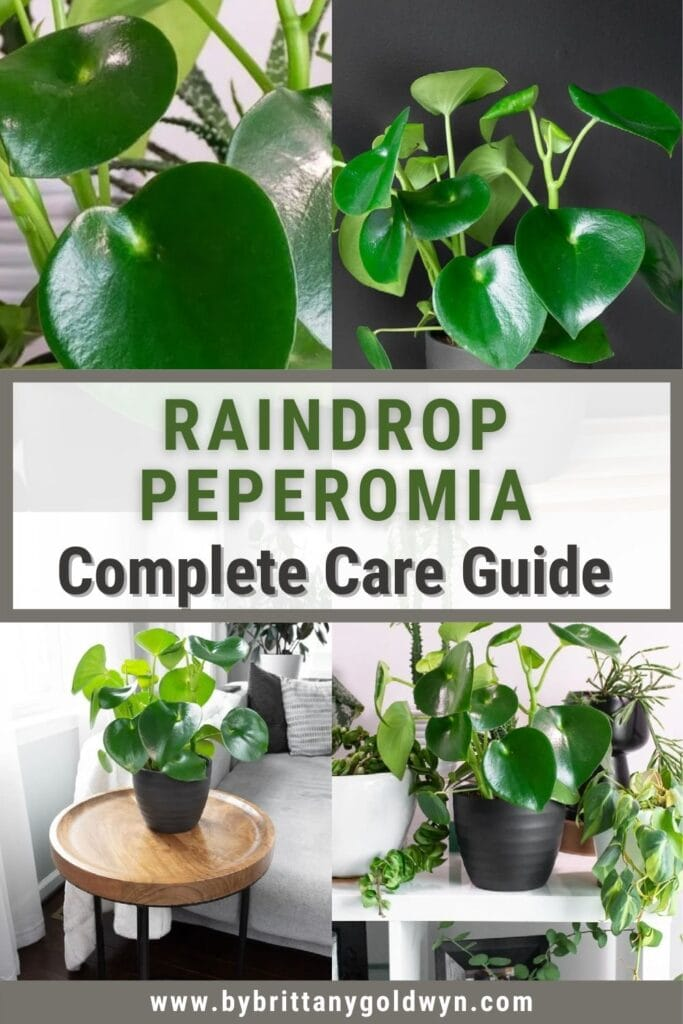 raindrop peperomia care image collage with text overlay