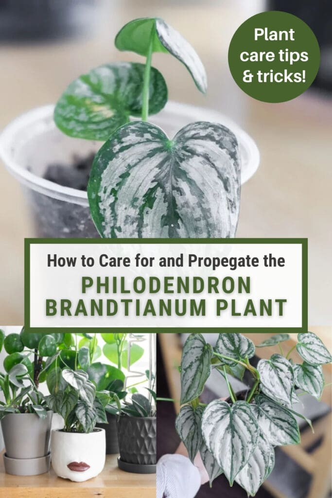 image collage of philodendron brandtianum with text overlay
