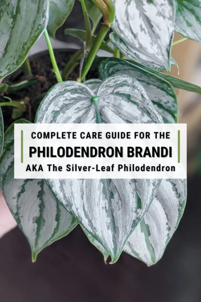 close up image of philodendron brandtianum with text overlay