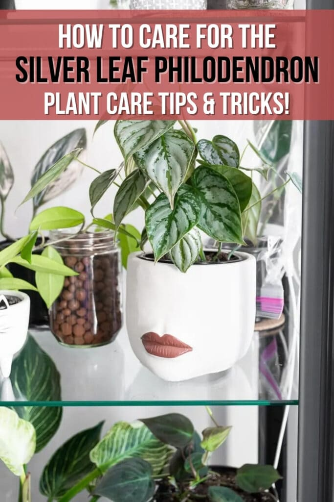 philodendron brandtianum plant in a ceramic pot with lips with text overlay