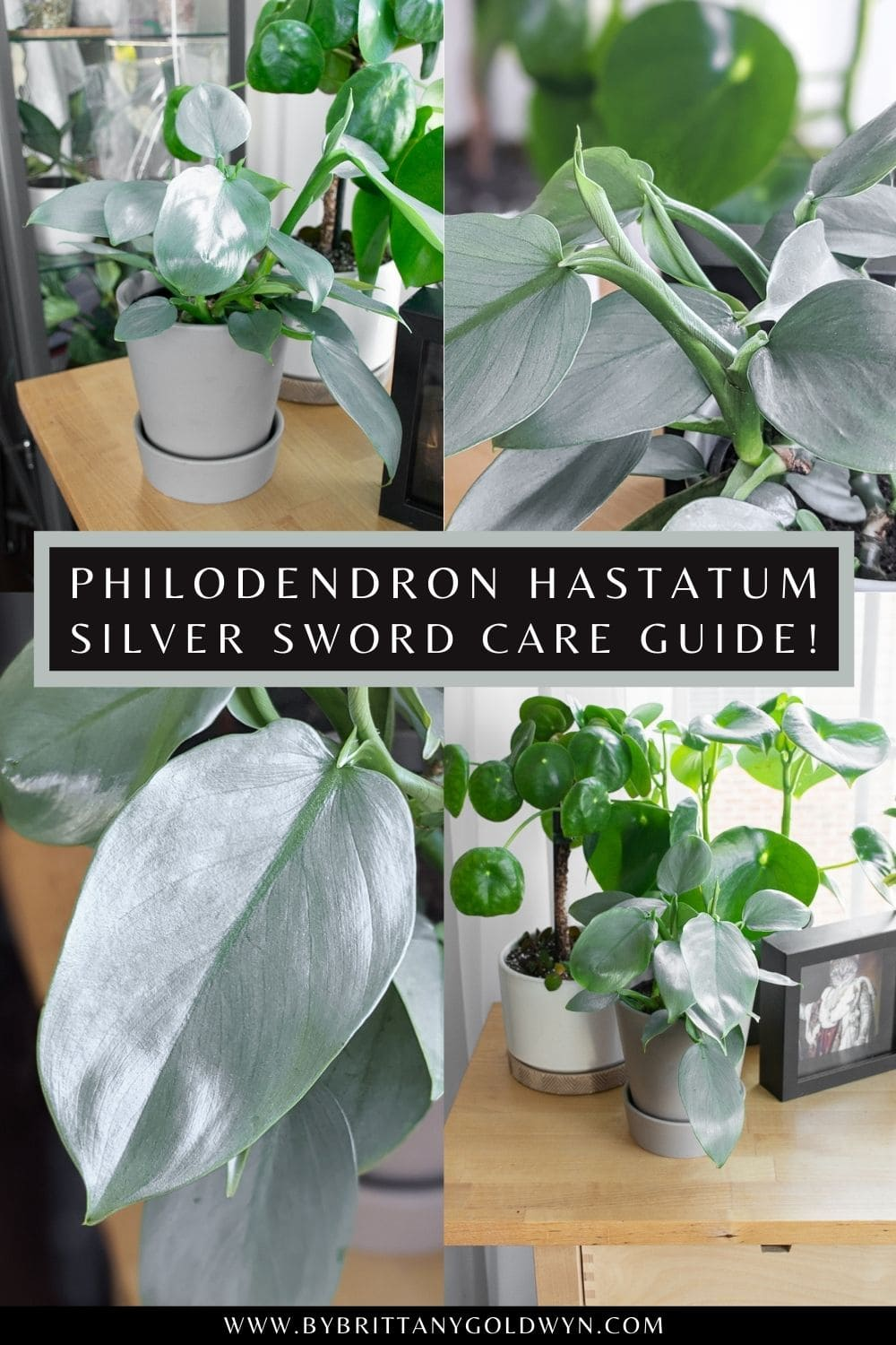 silver sword philodendron care pinnable graphic with text overlay