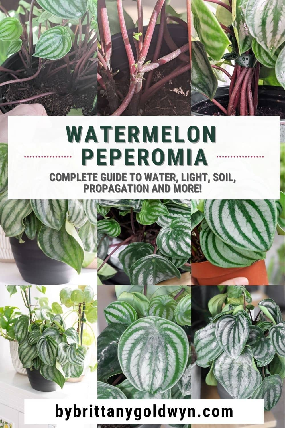 image collage of watermelon peperomia with text overlay